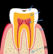 エナメル質・象牙質